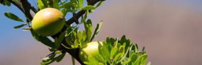 Arganolja görs av Argania Spinosa